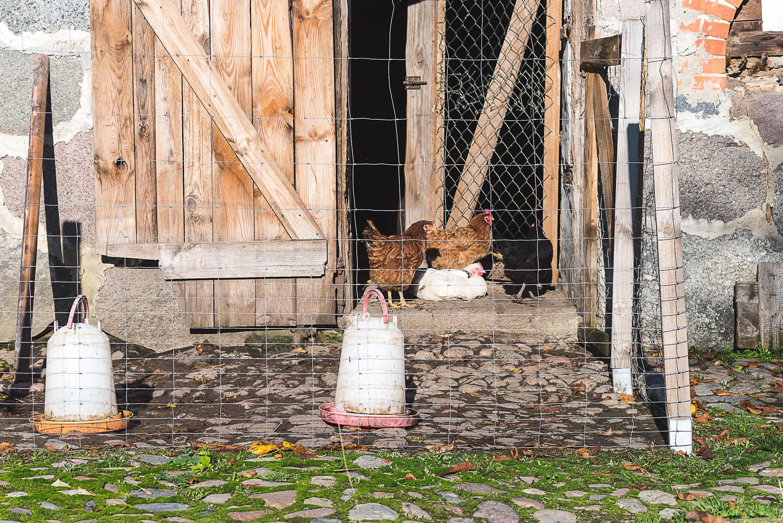 Szczęśliwe kury w Starym Gospodarstwie